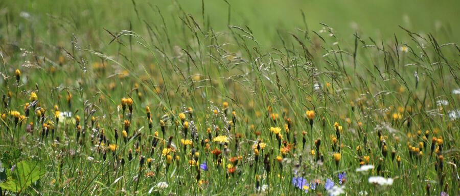 Wiese mit Gräsern und Blumen © Robin Menges