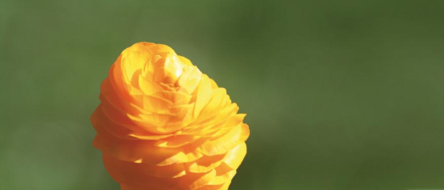 Orange Blüte vor grünem Hintergrund