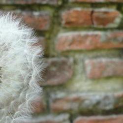 Pusteblume vor einer Ziegelmauer © Robin Menges