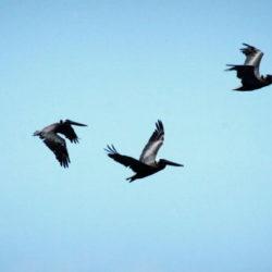Drei schwarze Vögel fliegen vor blauem Himmel © Alexandra Menges